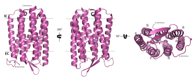 The structure of light-adapted (LA) AR3 (PDB accession code: 6S6C). The seven transmembrane helices are labelled A-G.