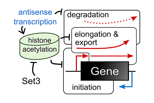 Antisense transcription affects the rate of transcription initiation and nuclear processing of RNA through histone acetylation levels