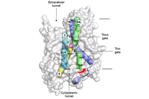 Structure of GkApcT with the predicted gating helices shown. Movement of TM6 away from TM3 and 8 opens the binding site to the interior of the cell, and facilitates release of the bound amino acid