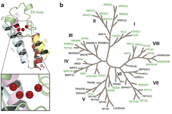 Figure: (a) Structure of the bromodomain fold and its conserved water network. (b) Phylogenetic tree of the human bromodomain family, with the 35 bromodomains considered in our study highlighted in green