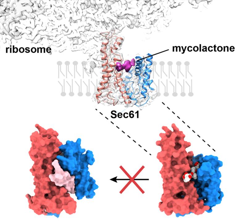 Bottom-left: Active signal-peptide bound Sec translocon. Bottom-right: Mycolactone-inhibited Sec translocon