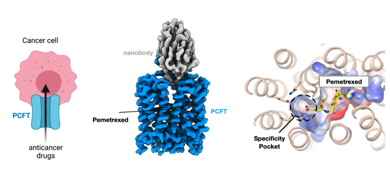 PCFT plays an important role in targeting chemotherapy drugs to cancer cells. The cryo-EM structure of PCFT now enables a more rational approach to anticancer drug design
