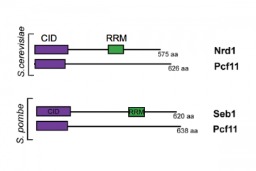 Homologous CID-containing proteins from budding yeast (S.cerevisiae) and fission yeast (S.pombe) with the conserved regions CID and RRM shown