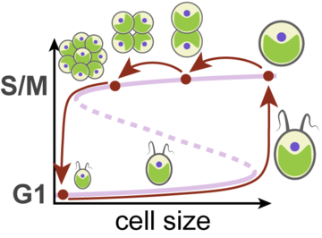 A wide bistable sizer mechanism leads to multiple-fission cycles