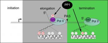 Model proposed. Conserved PP1 orchestrates transition from elongation to termination by dephosphorylating Spt5 and CTD-Thr4P at the end of the transcription cycle